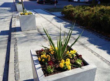 Kwitną kolejne kwiaty na klombach i w donicach posadzone przez miasto