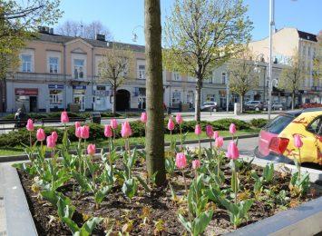 Miejskie tulipany kuszą złodziei