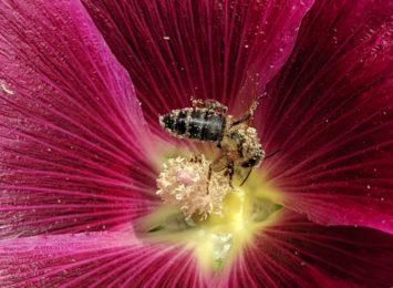 Groźna bakteria Paenibacillus larvae zaatakowała pszczoły w regionie