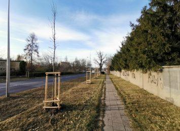 Miasto prowadzi akcję sadzenia drzewek w pasach drogowych
