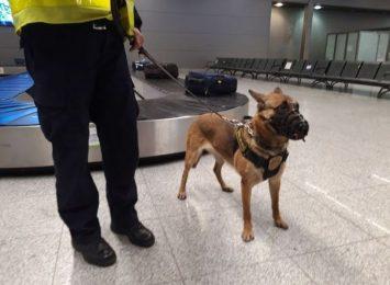 Pies służbowy z częstochowskiej Straży Miejskiej znów szkolił się na lotnisku w Pyrzowicach