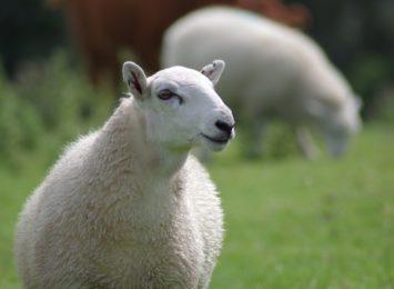 Owce zatrudnione na zamku w Olsztynie