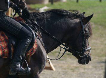 Częstochowska policja ma nowych jeźdźców, którzy zasilą szeregi oddziału konnego