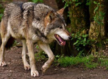 Uwaga na wilki!