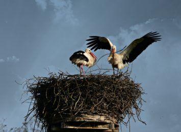 Zbudował specjalne gniazdo na kominie, aby przyciągnąć bociany, kolejna ptasia akcja na Stradomiu