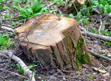 Przy Marszałkowskiej wytną prawie 200 drzew, ale posadzą blisko 500... młodych drzewek, UM wyjaśnia wątpliwości