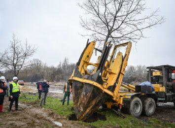 Nie wycinają a przesadzają drzewa, dęby z Jaskrowskiej trafiają w al. Bohaterów Monte Cassino