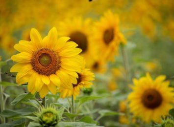 Więcej kwietnych łąk! Pole słoneczników wyrośnie na Skwerze Solidarności