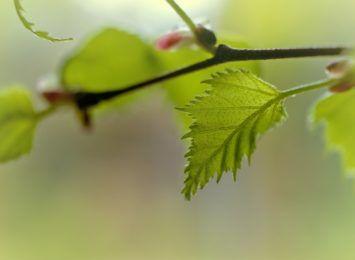 W Alei Brzozowej docelowo jeszcze więcej drzew. Sadzą właśnie 58 nowych brzóz