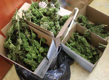 Policjanci z Kłobucka znaleźli 2 kg marihuany