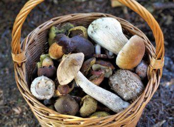 Kiedy w lesie pojawia się dany gatunek grzyba? Kalendarz grzybiarza