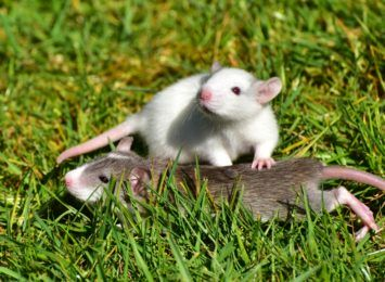 Szczury w blokach przy alei Kościuszki. Mieszkańcy szukają pomocy w walce z plagą gryzoni